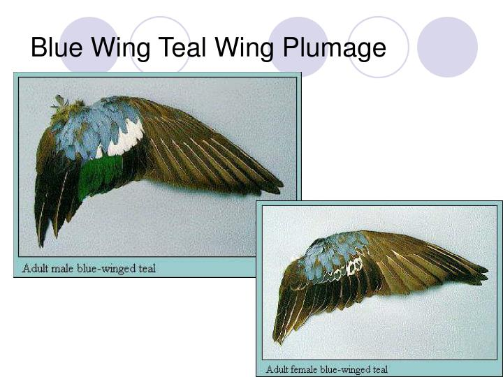 Blue Wing Teal Wing Plumage