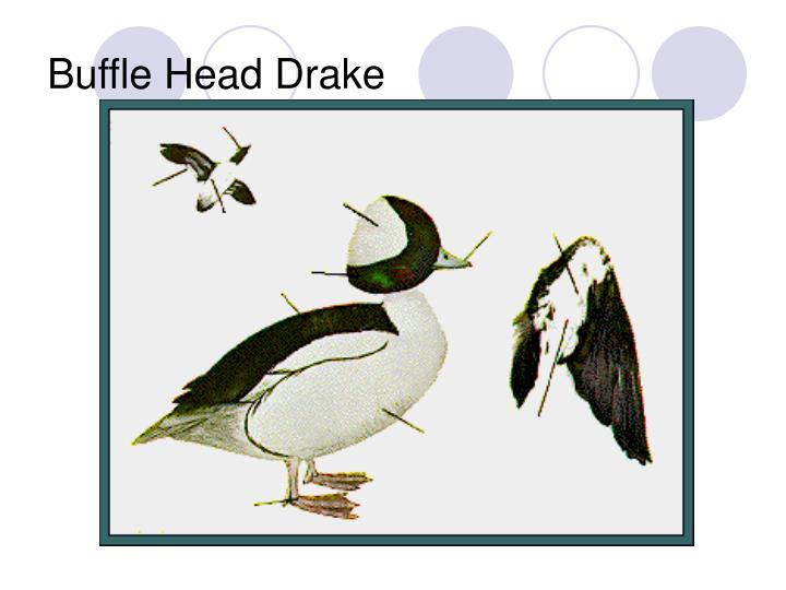 Buffle Head Drake