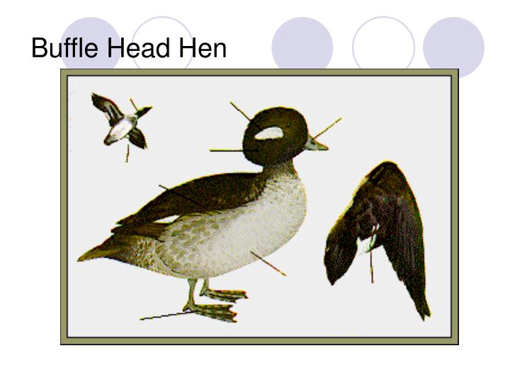 Buffle Head Hen