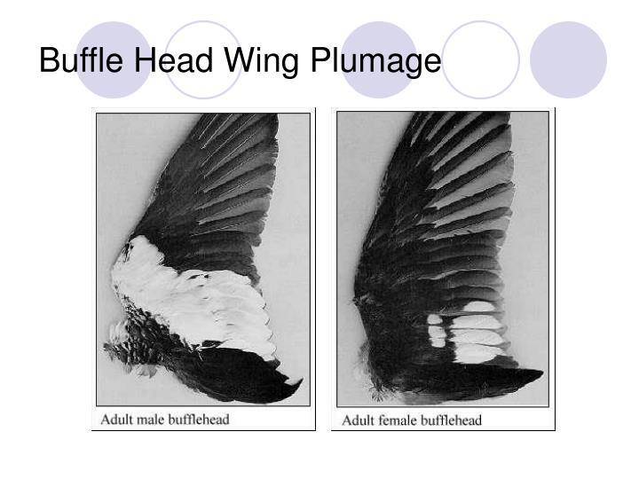 Buffle Head Wing Plumage