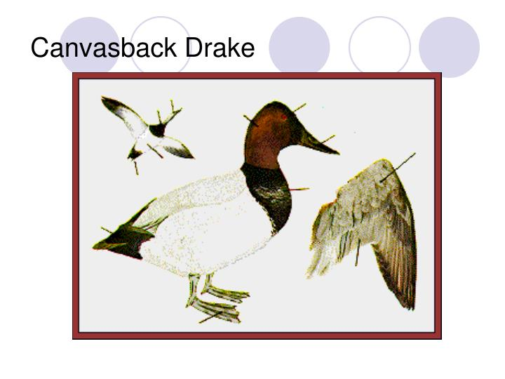 Canvasback Drake
