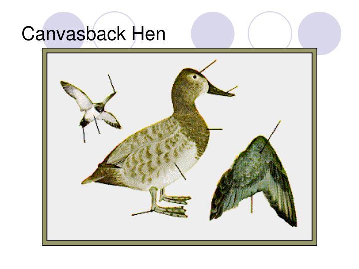 Canvasback Hen