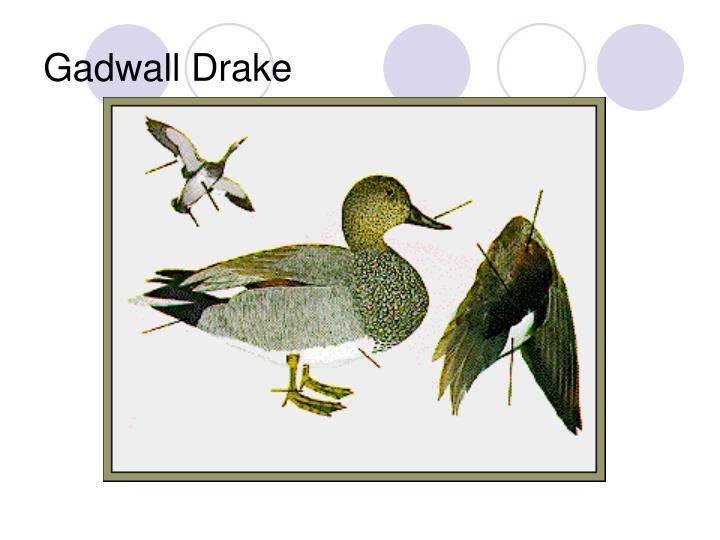 Gadwall Drake