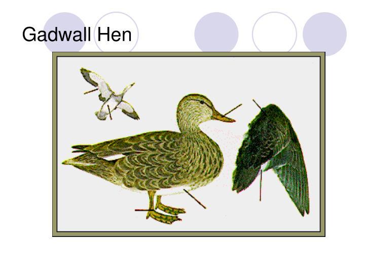 Gadwall Hen