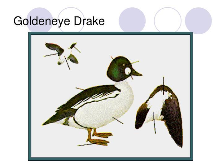Goldeneye Drake