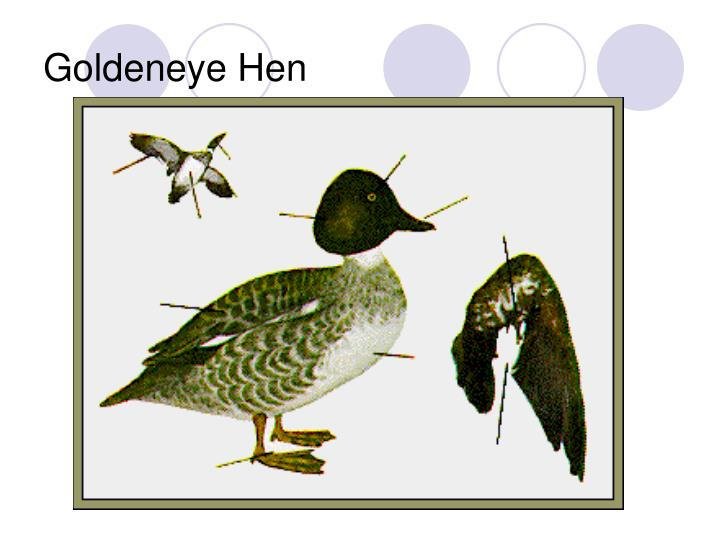 Goldeneye Hen