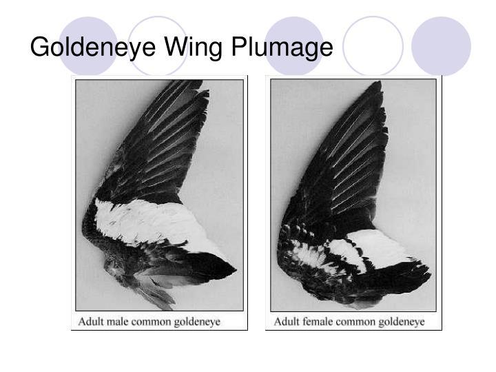 Goldeneye Wing Plumage