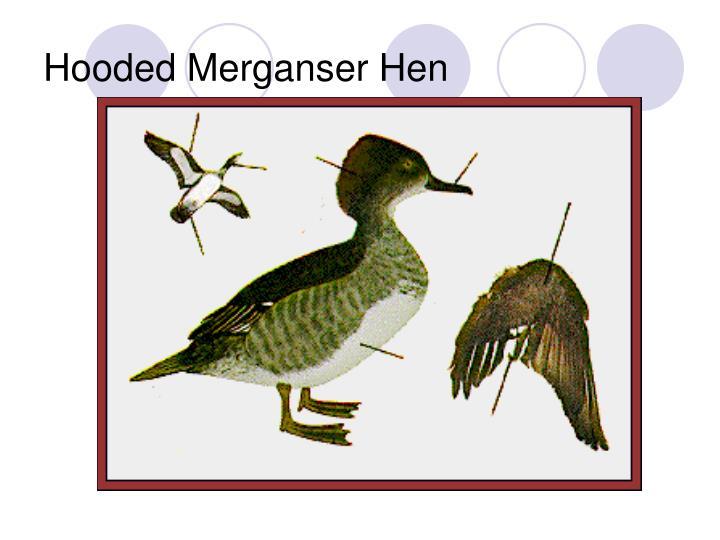 Hooded Merganser Hen