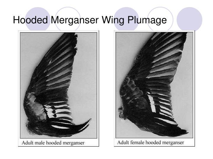 Hooded Merganser Wing Plumage