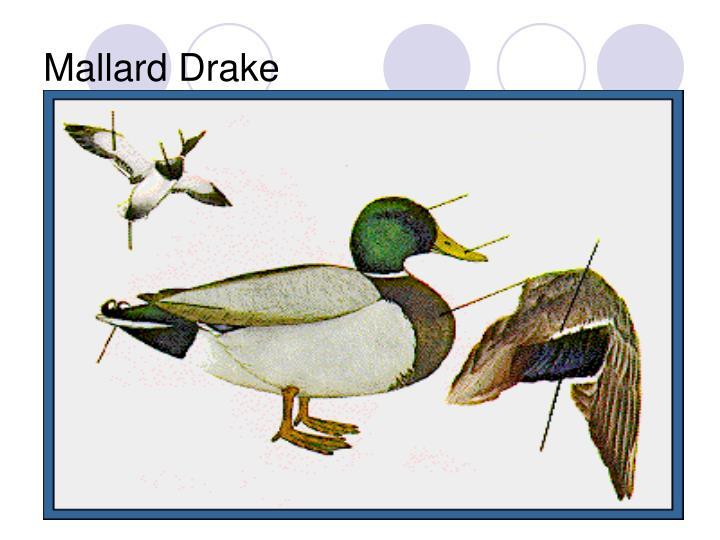Mallard Drake
