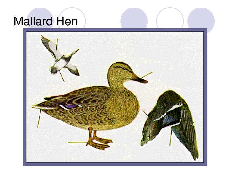 Mallard Hen
