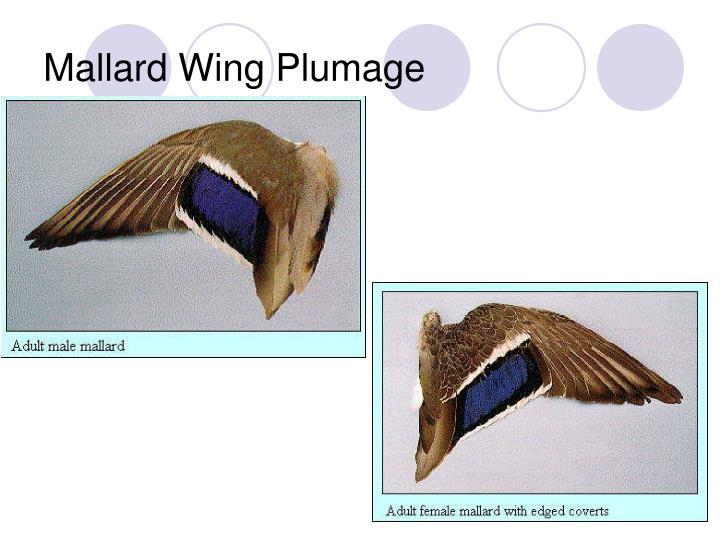 Mallard Wing Plumage