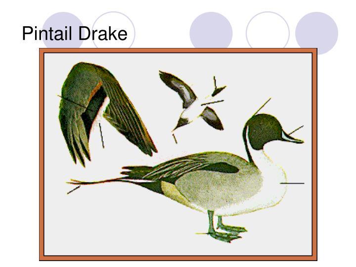 Pintail Drake