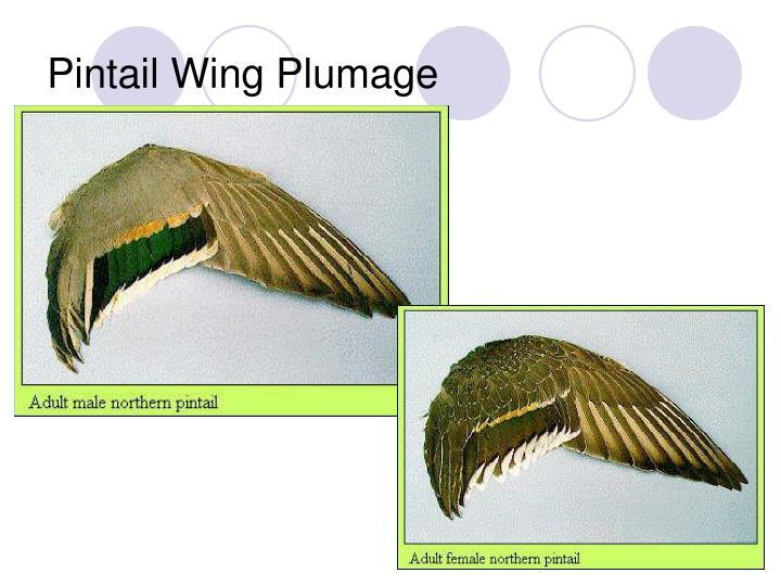 Pintail Wing Plumage