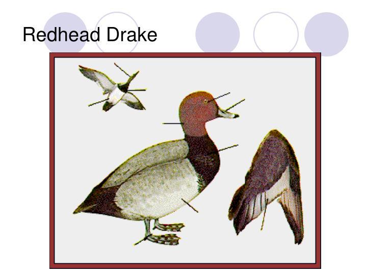 Redhead Drake