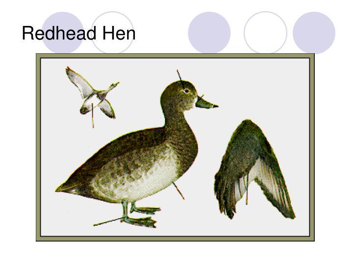 Redhead Hen