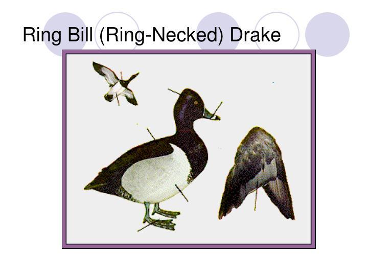 Ring Bill (Ring-Necked) Drake