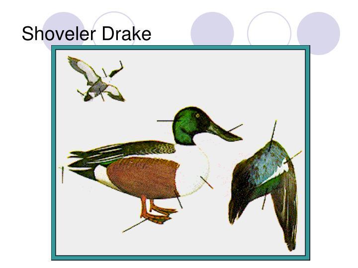 Shoveler Drake