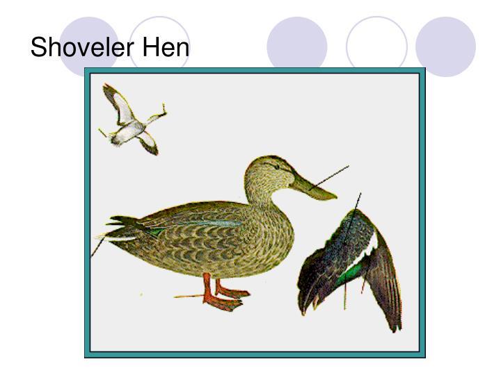 Shoveler Hen
