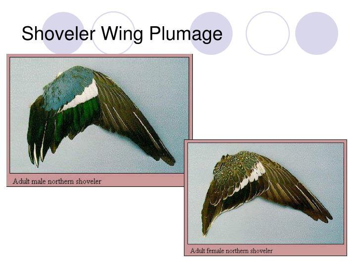 Shoveler Wing Plumage