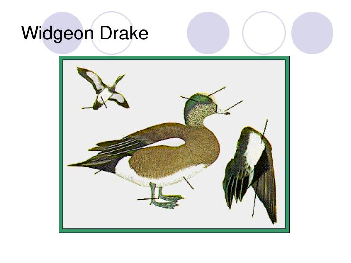 Widgeon Drake