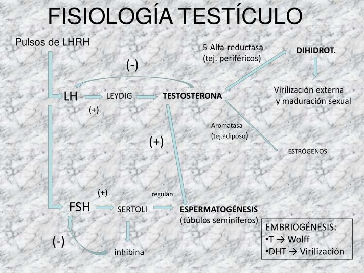 FISIOLOGÍA TESTÍCULO