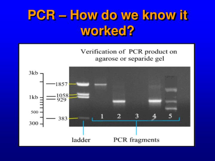 PCR – How do we know it worked?