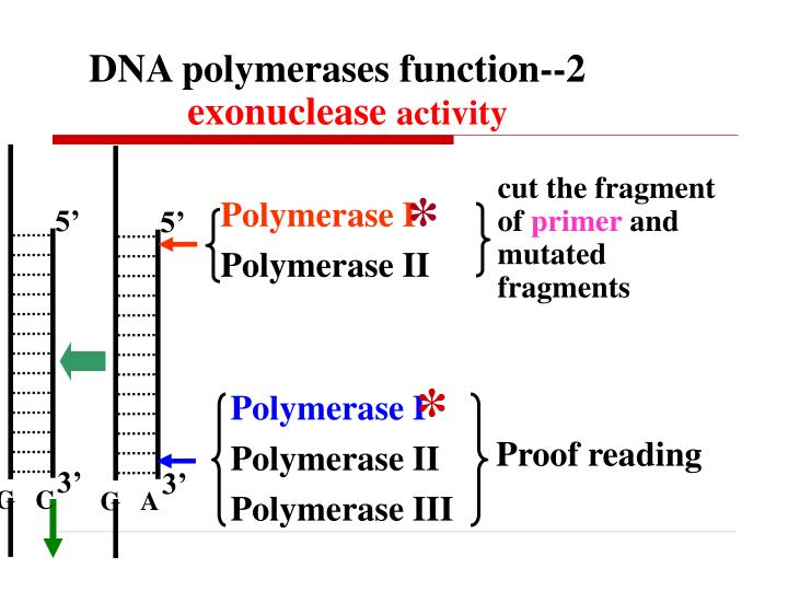 DNA polymerases function--2