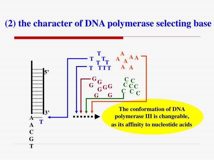(2) the character of DNA polymerase selecting base