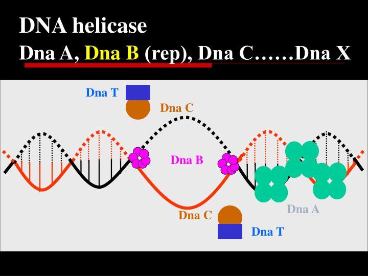 DNA helicase