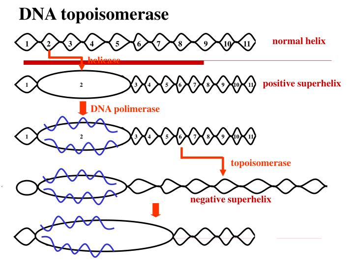 DNA topoisomerase