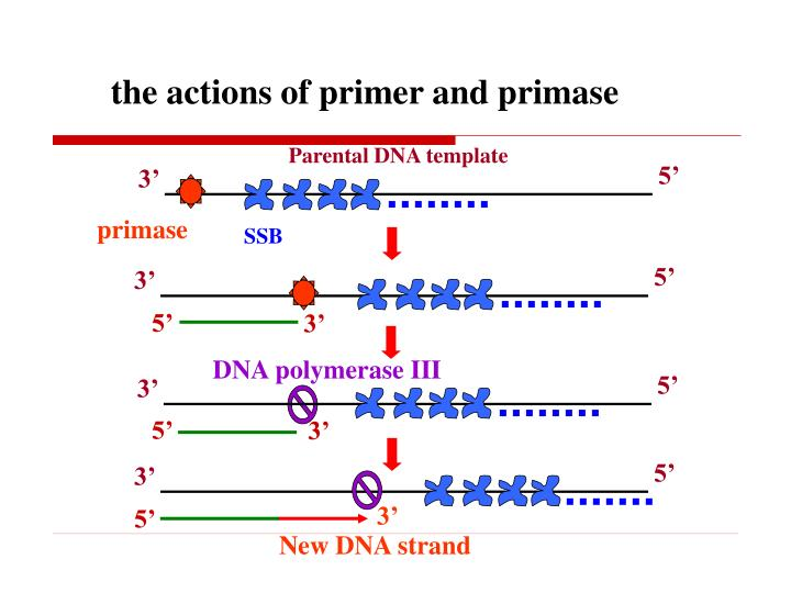 the actions of primer and primase