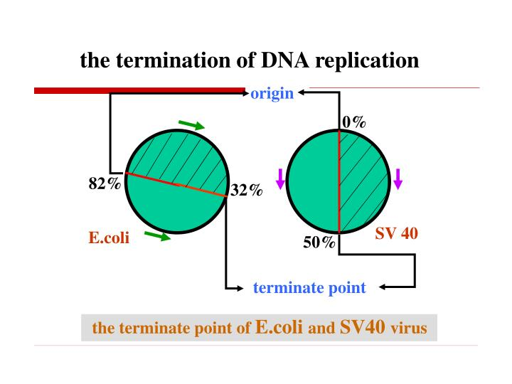 the termination of DNA replication