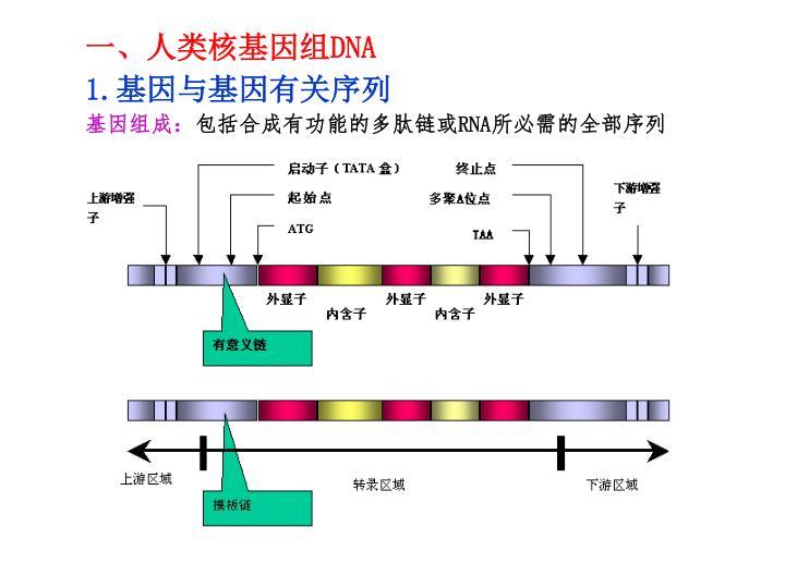 一、人类核基因组