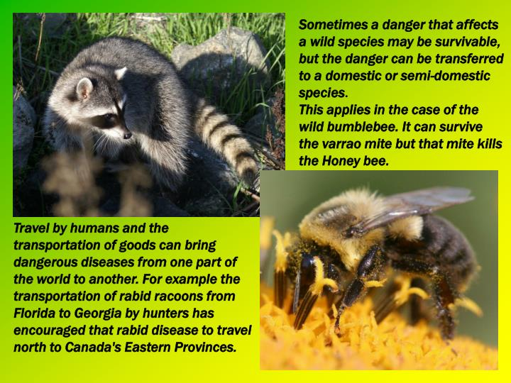 Sometimes a danger that affects a wild species may be survivable, but the danger can be transferred to a domestic or semi-domestic species