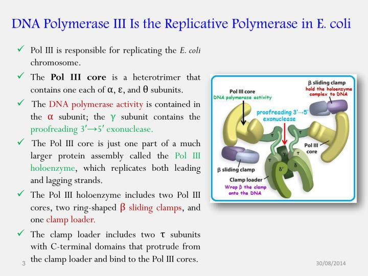 Dna polymerase iii is the replicative polymerase in e coli
