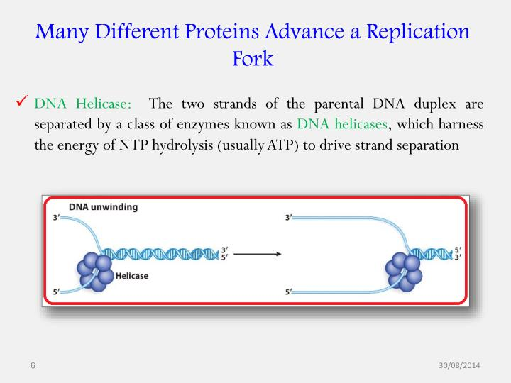 Many Different Proteins Advance a Replication Fork