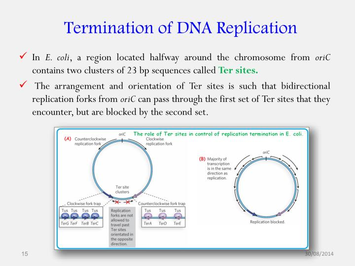 Termination of DNA Replication