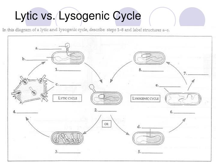 Lytic vs. Lysogenic Cycle