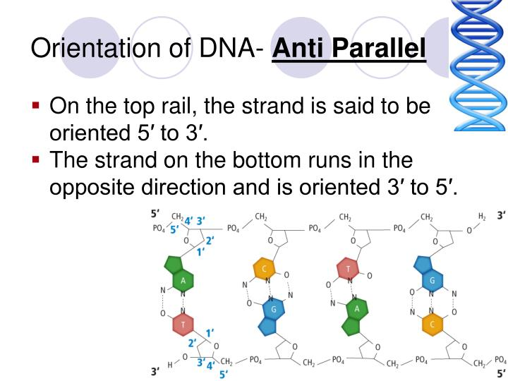 Orientation of DNA-