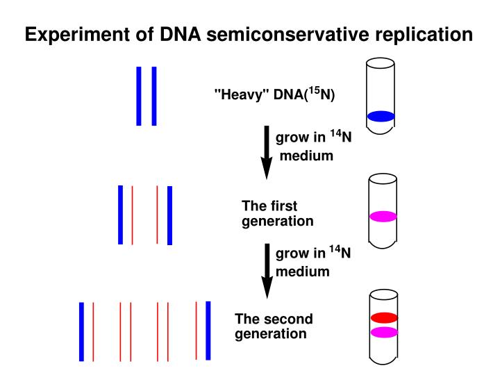 Experiment of DNA semiconservative replication