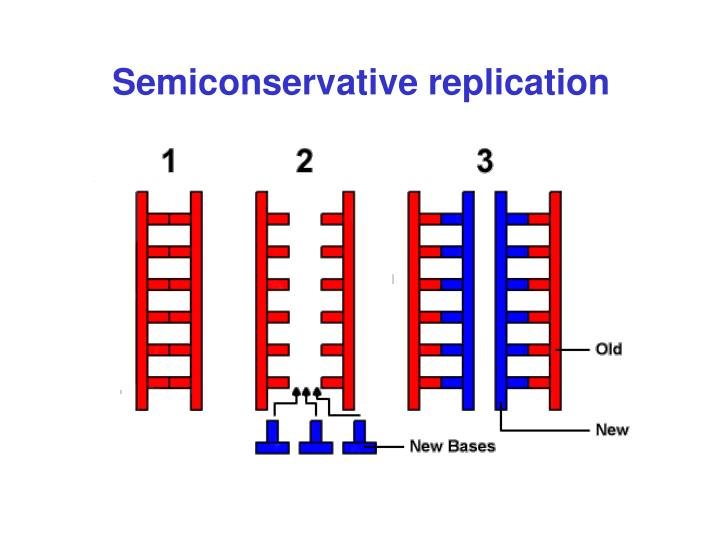 Semiconservative replication