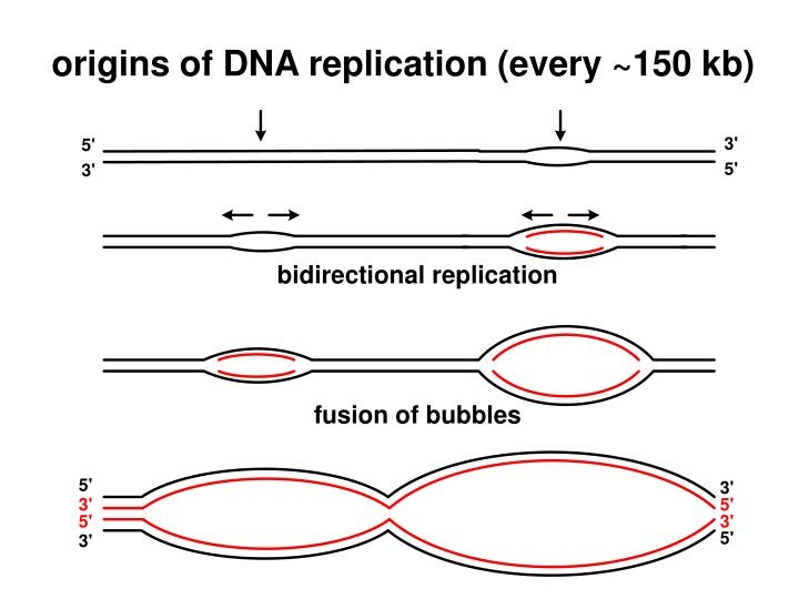 origins of DNA replication (every ~150 kb)