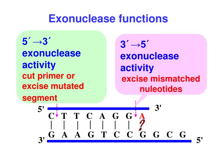 Exonuclease functions