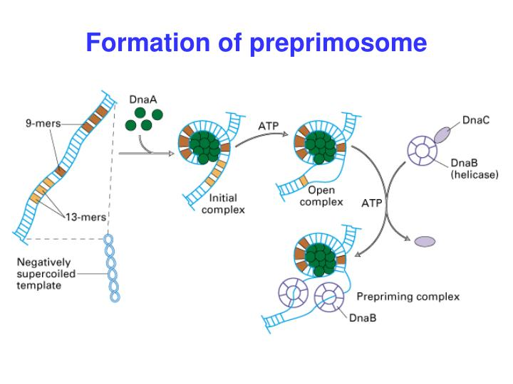 Formation of preprimosome