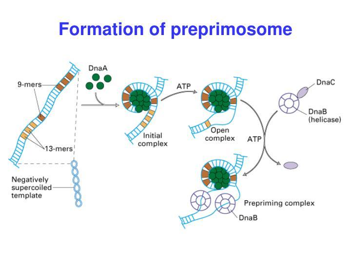 Formation of preprimosome