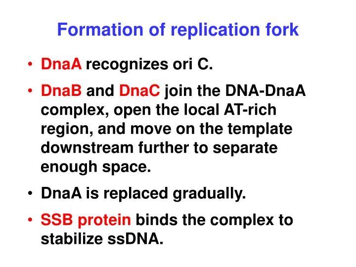 Formation of replication fork