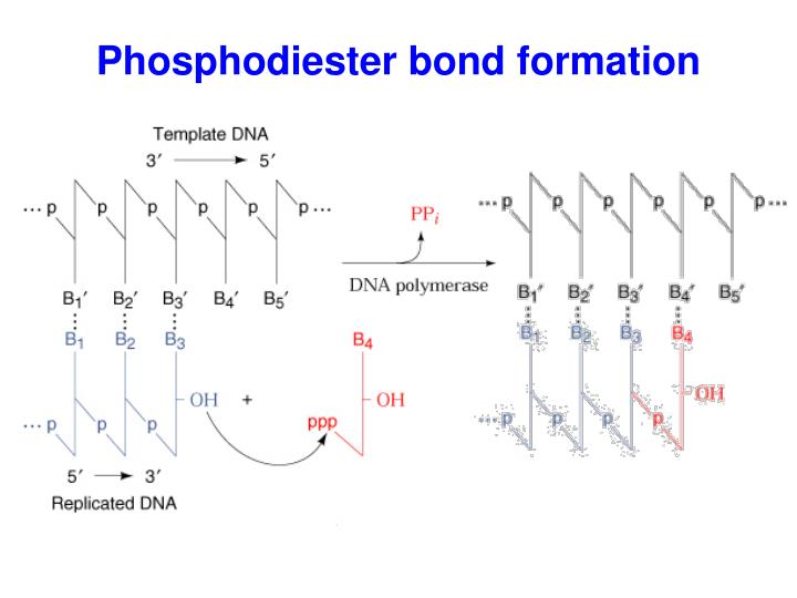 Phosphodiester bond formation