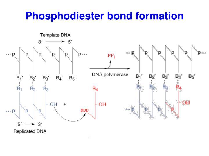 Phosphodiester bond formation