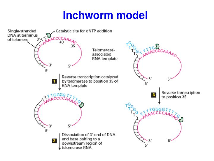 Inchworm model